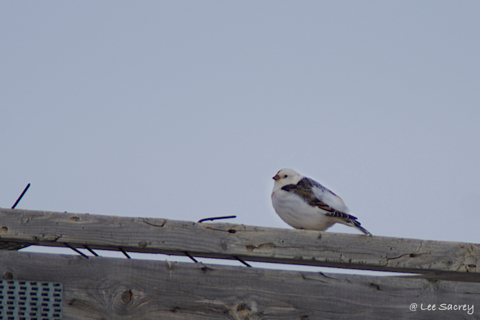 Finally a Snow Bunting that would stay still, lol.